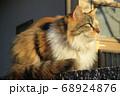 西日を眺める長毛種の三毛猫・横顔 68924876