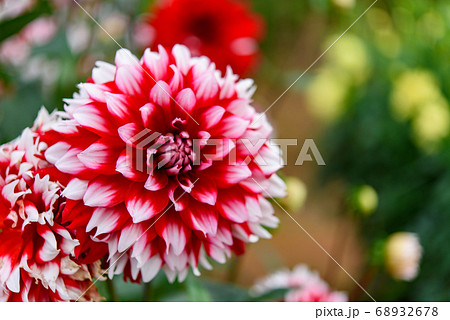 世羅高原の綺麗な赤白ダリアのアップ 68932678