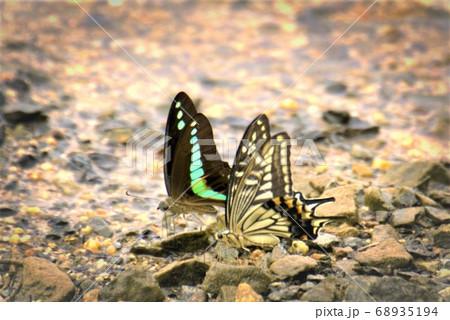 水分補給する蝶は異種コラボレーション 68935194