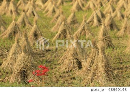 天日干し中の稲藁の塔がたくさんある田んぼに咲いた彼岸花 68940148