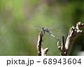 シオカラトンボ 68943604
