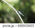 シオカラトンボ 68943605