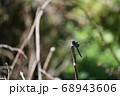 オオシオカラトンボ 68943606