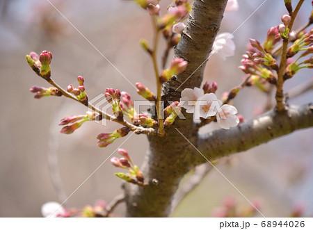 三つ子みたいに咲いている可愛い桜の花 68944026