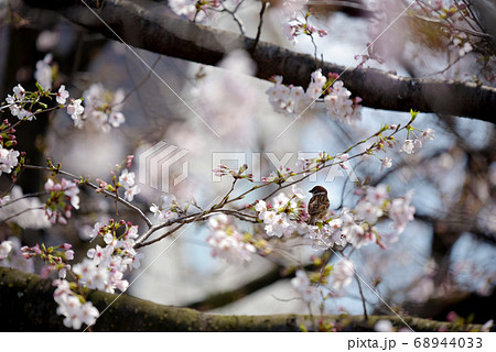 桜の花が咲いている枝にとまる一羽の雀 (遠景) 68944033