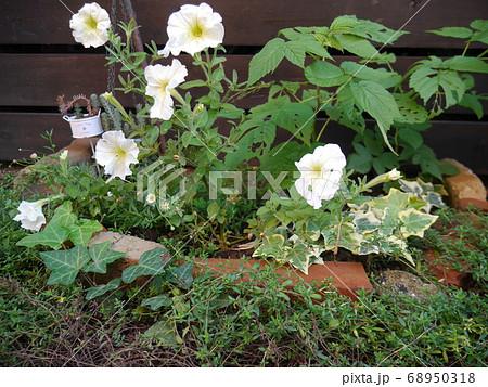 ペチュニアやアイビーが植えられた小さな花壇 68950318
