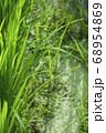 初夏のイネと背景の水草 68954869