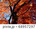 秋晴れに映える大樹と紅葉 68957297