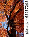 秋晴れに映える大樹と紅葉 68957298