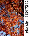 秋晴れの下できらめく大樹の紅葉 68957299
