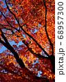 秋晴れの下で燃える大樹の紅葉 68957300