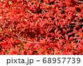 ドウダンツツジの紅葉と実 68957739