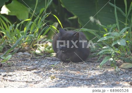 草むらでうずくまる黒猫(ジャネーガマ(ジャネー洞)付近 藪地島/沖縄県うるま市) 68960526