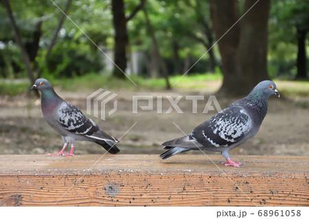 公園のベンチの背中合わせの二羽の鳩 68961058