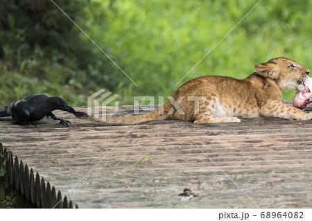 赤ちゃんライオンの餌を狙うカラス 68964082