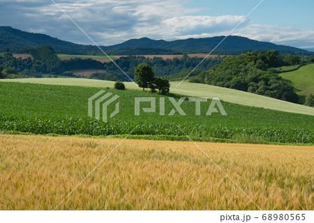 美瑛の小麦とジャガイモ畑のグラデーション 68980565
