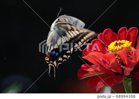 百日草に舞い降りるキアゲハ 飛翔 68994306
