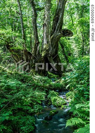 たじま高原植物園 和池の大カツラ 69000019