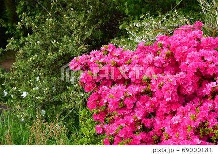 新緑の季節のツツジの密集した複数のピンク色の花と黄緑色の葉を撮影した写真 69000181