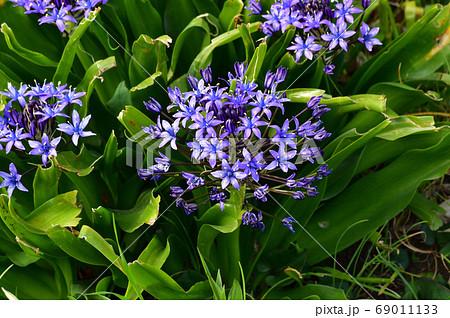 シラー・ぺルヴィア―ナと推定される球根植物の青色の花をアップで撮影した写真 69011133