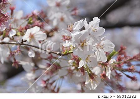 桜満開(JR国立駅南口/東京都国立市) 69012232