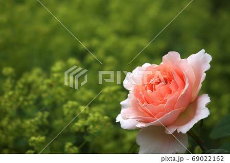 庭に咲く一輪のバラ アプリコット色 69022162