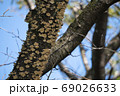 桜の木に密集するサルノコシカケ 69026633