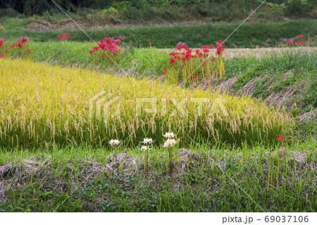 頭を垂れる稲穂とあぜ道に咲く白と赤の彼岸花 69037106