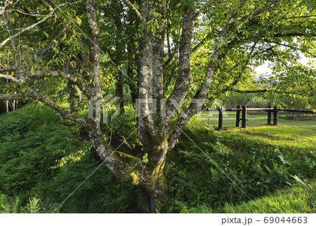 長野県木曽町開田高原木曽馬の里にあるコブシの樹 69044663
