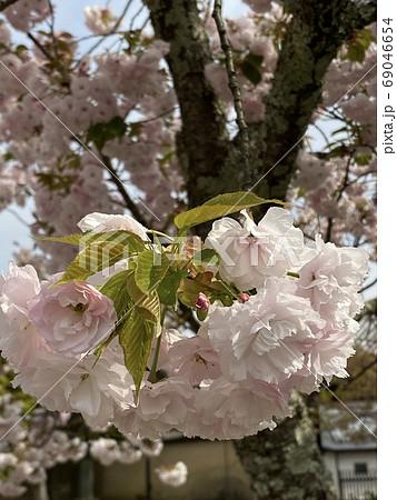 ふわふわの優しい色のヤエザクラの花 69046654