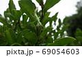 木の葉の下で脱皮するカマキリ 69054603