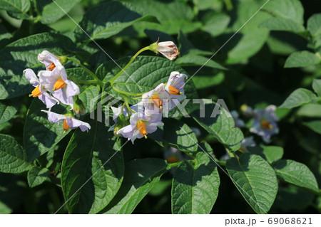 ジャガイモの花 69068621