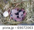 パンダマウス の赤ちゃん 生後8日 69072063