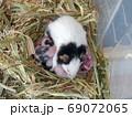パンダマウス の赤ちゃん 生後8日 69072065