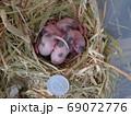 パンダマウスの赤ちゃん 生後7日 69072776