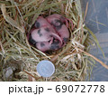 パンダマウスの赤ちゃん 生後7日 69072778