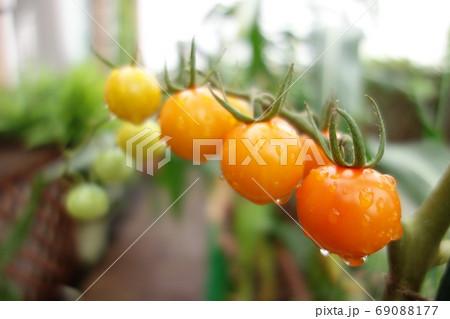 イエローからオレンジ色のグラデーションミニトマト 69088177