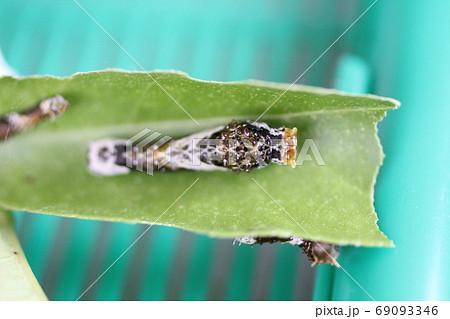 クロアゲハの4齢幼虫 69093346