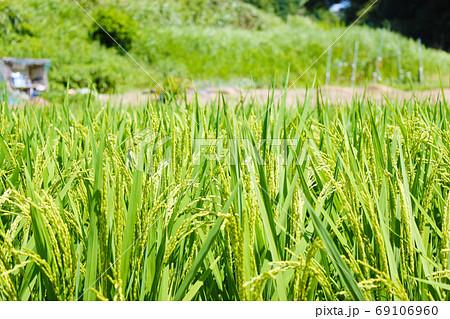 田舎の水田 夏の青々とした稲 69106960