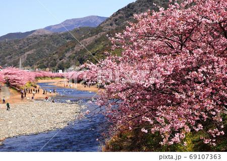 天城の滝から流れ出る水で花咲す河津桜 69107363