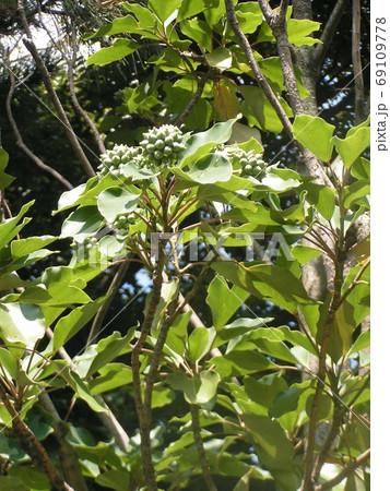 着ると姿が隠せる簑のように葉が密についるカクレミノの実 69109778