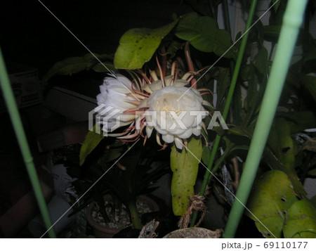 一夜限りの白い大きなゲッカビジンの花 69110177