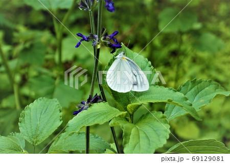 ラベンダーセージの花にとまるモンシロチョウ 69129081