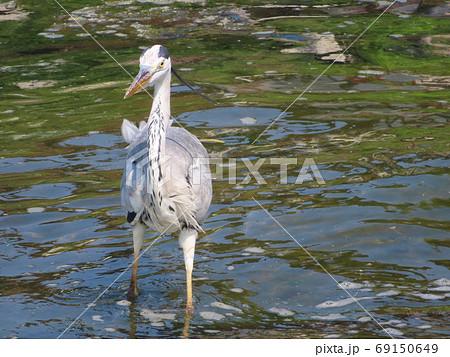 こちらへ向かって歩いてくるアオサギと琵琶湖の水面 69150649