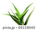 Aloe vera plant isolated on white background. Aloe vera is a succulent plant species of the genus Aloe. It is cultivated for agricultural and medicinal uses 69158040