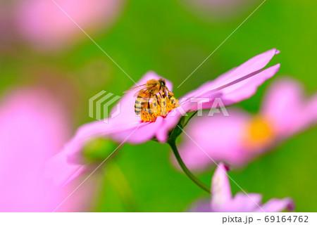コスモスの蜜を吸うミツバチ 69164762