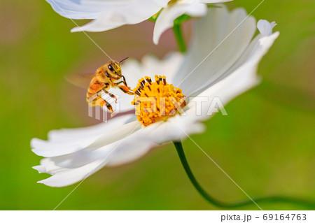 コスモスの蜜を吸うミツバチ 69164763