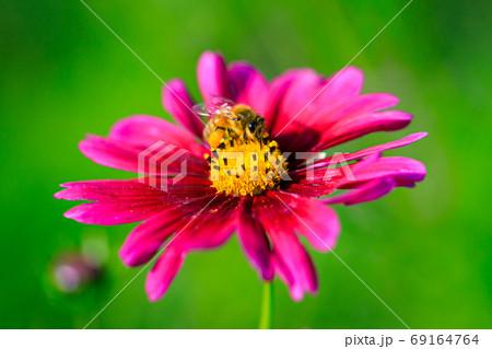 コスモスの蜜を吸うミツバチ 69164764