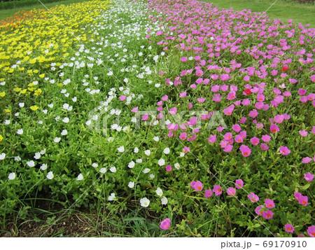 ポーチュラカの白とピンクと黄色の花 69170910