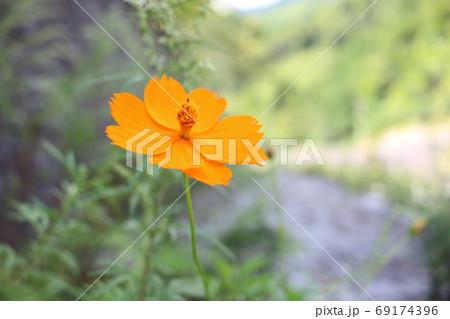 初秋の川岸で日陰に咲くキバナコスモス 69174396